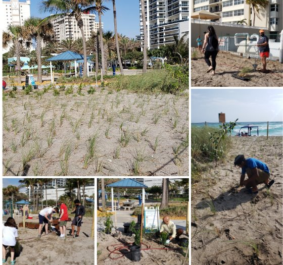people planting dune plants on the beach