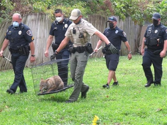 Police and Fish and Wildlife carry coyote in cage